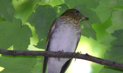 Central Park Catharus Thrush