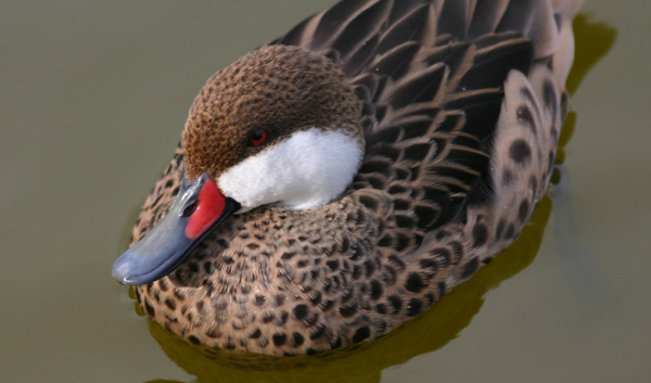 White-cheeked Pintail by Mike