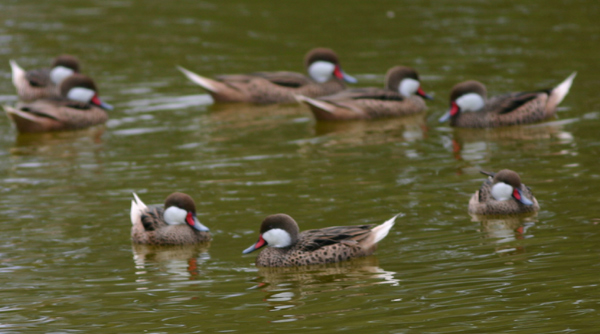 White-cheeked Pintail flock